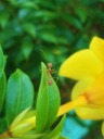ant on Allamanda