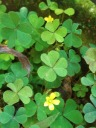 four-leaf clovers are rare...but why seek them out when pretty yellow flowers are present to give cheer...