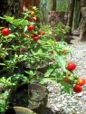 red hot chili as ornamental plants
